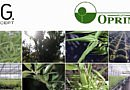 Do you know the largest European producer of bamboo and Ilex crenata 'Dark Green'©?